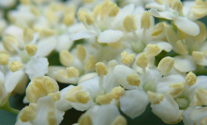 Домашний увлажняющий и очищающий лосьон из цветков бузины