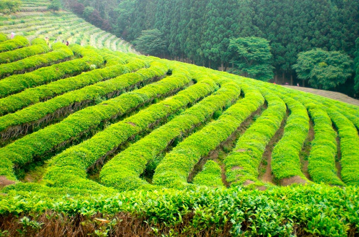 Что такое чай? Немного статистики и истории